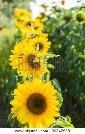 Row Of Bright Sunflowers With Selective Focus