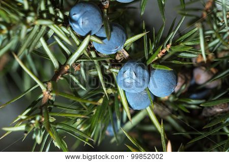 Berries Of Juniper. Shallow Depth Of Field