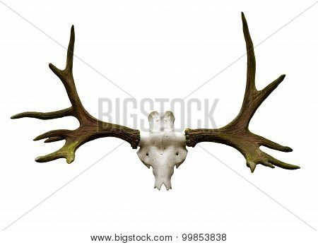 Antlers On A White Background