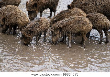 Wild Pigs On Liquid Dirty Ground