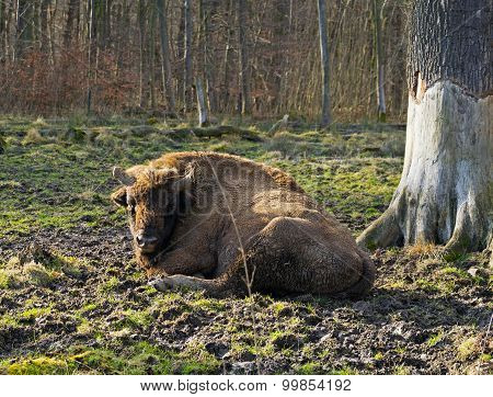 Aurochs In A Forest Of Zoo