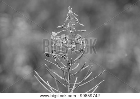 Wild Field Flower Closeup Of Monochrome Tone