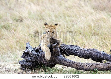 Lion cub lying on dead tree in Masai Mara National Reserve, Kenya