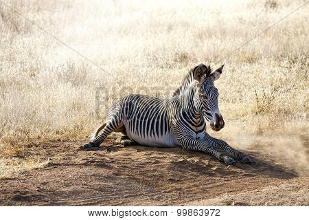 Gravy Zebra laying on the ground in Samburu National Reserve, Kenya