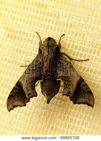 Sphinx Moth 1