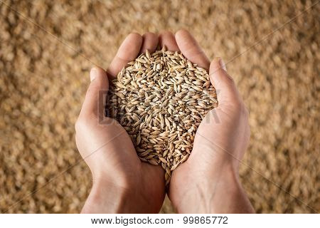 Farmer's Hands Holding Wheat Grains