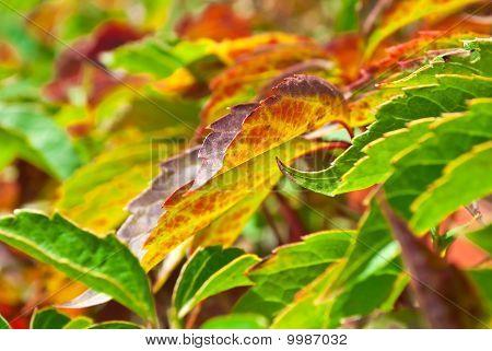 Foliage Of Virginia Creeper