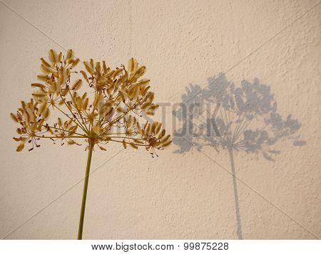 Wild Fennel Flower