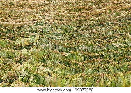 Tobacco Drying On Traditional Way