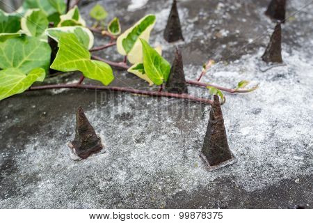 Green Ivy Growing On Concrete