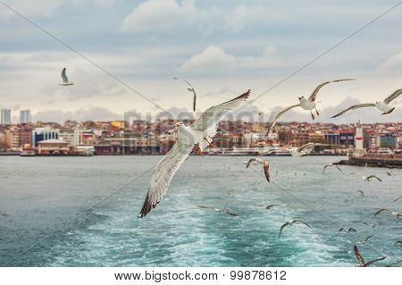 Seagull Istanbul, Bosporus, Turkey.