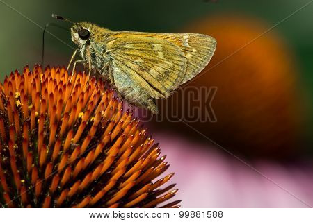 Skipper On Purple Coneflower
