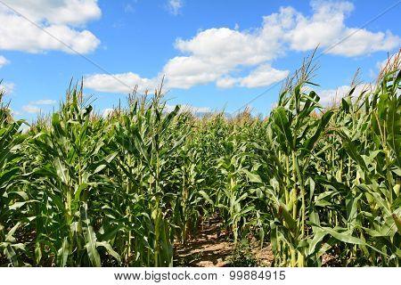 Closeup of a corn field with a blue cloud sky.