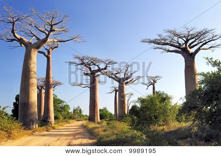 Baobabs Forest