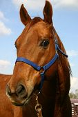 picture of barrel racing  - horse in a blue halter waits at the trailer for his rider - JPG