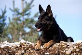 picture of german shepherd  - Black German Shepherd laying on the snow - JPG