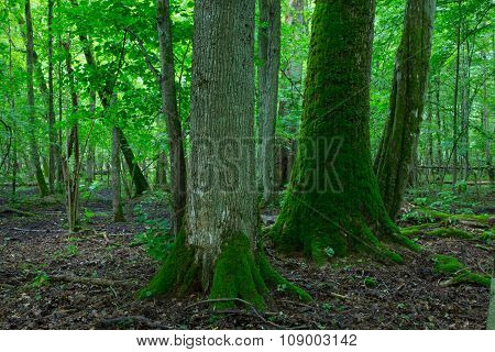 Group Of Old Trees In Summertime Stand