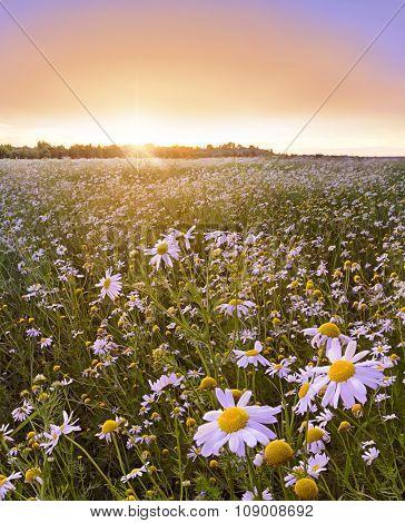 Beautiful sunset over flower field