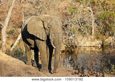 Elephant At A Waterhole