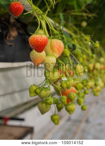 Ripe And Unripe Strawberries From Close