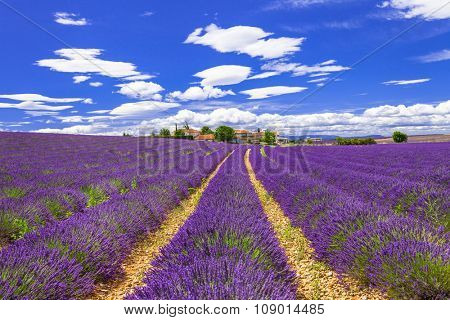 violet fields of blooming lavander in Provance, France