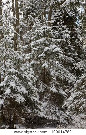Winter Landscape Of Natural Forest With Juvenille Spruce Trees