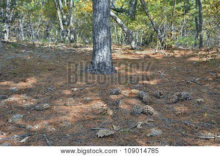 Cones Of Cedar Pine