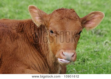 Calf chewing the cud
