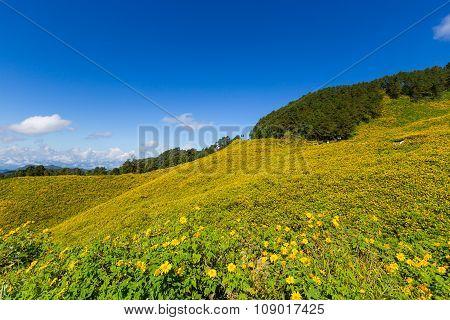 Panorama Tung Bua Tong Mexican Sunflower In Maehongson, Thailand