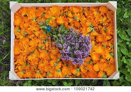 Calendula Marigold Blossoms In The Box With Origanum