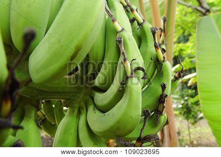 Unripe fingernail banana or Lebmuernang banana