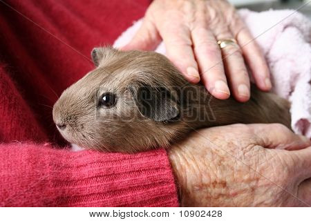 Pet therapy guinea pig