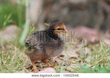 Baby free range chicken