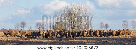 European Bison Herd In Winter Sunny Day