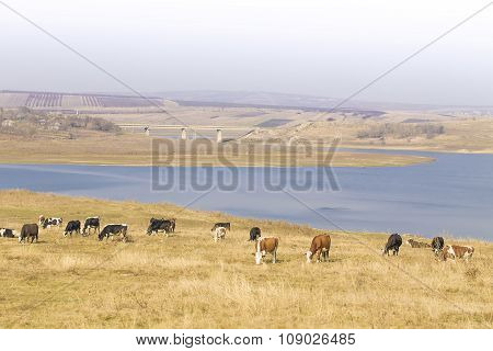 Cows graze on pasture by river: beautiful panoramic view