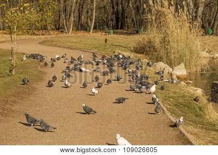 Pigeon flock on lake shore in park