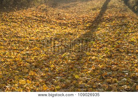Yellow autumn leaves cover ground in sun