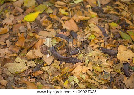 Mix of autumn leaves, honey locust fruit on ground
