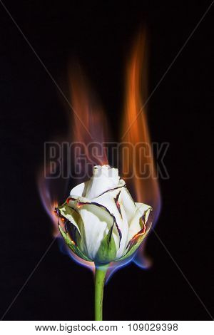 White Rose On Fire But Not Burning Out With Black Background