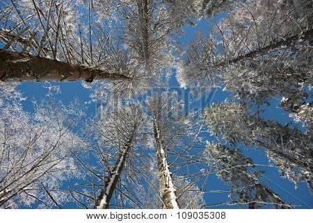 Frosted Crown Of Trees With Clear Blue Sky