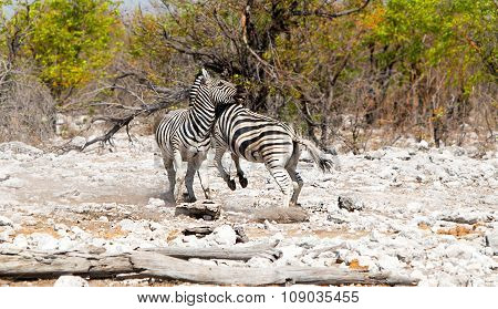 Common Zebra fighting on the Etosha plains