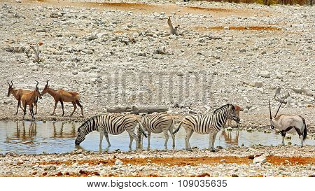 Zebras and Hartebeest at a waterhole in Etosha
