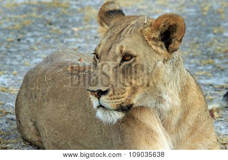 Isolated Lioness profile