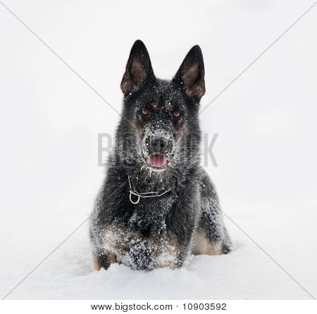 German Sheepdog In Snow