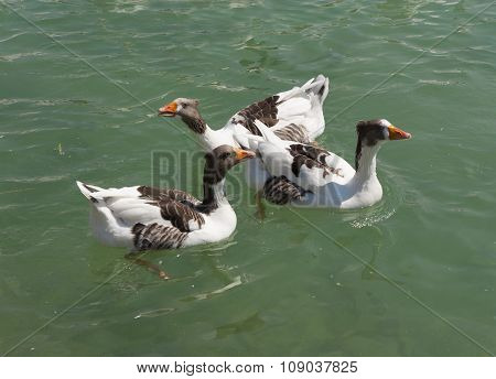 Geese, Goslings On The Natural Lake, Bird On Blue Water Photo