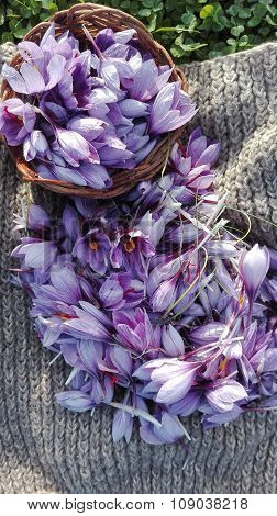 flowers of saffron