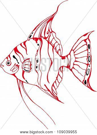 Red angelfish