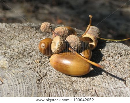 acorns on a tree stump