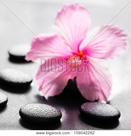 Beautiful Spa Concept Of Pink Hibiscus Flower On Zen Basalt Stone With Drops, Closeup