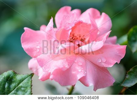 Beautiful Romantic Pink Roses Flowers With Water Drops, Soft Selective Focus